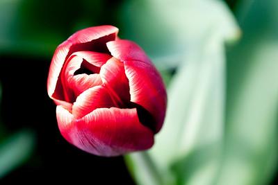 Tulip at Keukenhof Garden
