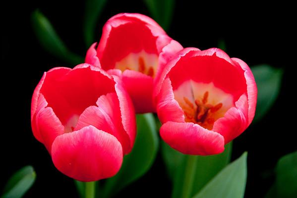 Tulips at Keukenhof Garden