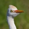 verärgert Cattle Egret (Bubulcus ibis)