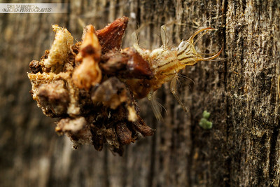 Lacewing Larva on Fence Post