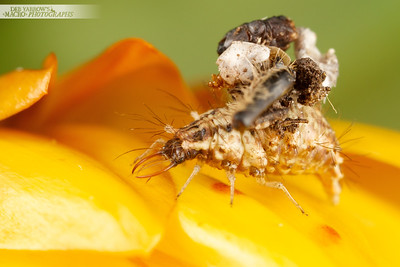 Chubby little lacewing larva rests on a yellow flower.