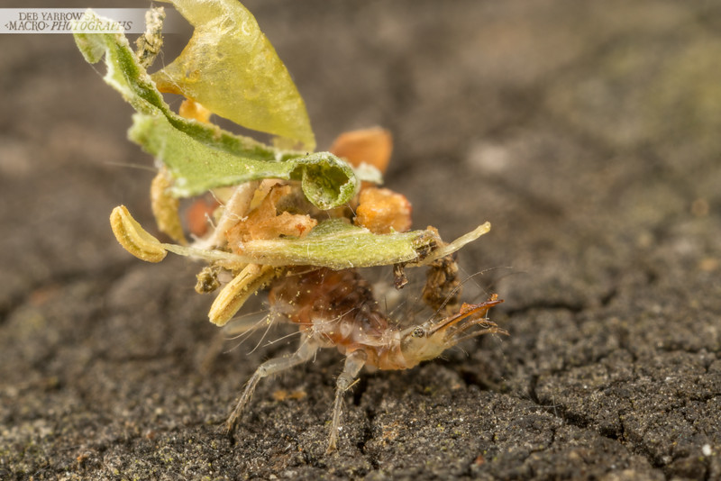 Lacewing larva manipulates silk that seems to be used to hold together its camo crud. This camo includes dead plant matter and you can even see a couple of pollen filled flower stamens.