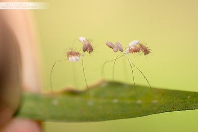 Lacewing Clutch