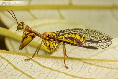 Yellow Mantid Lacewing