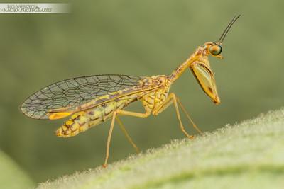 Mantid Lacewing