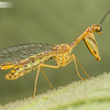 Mantid Lacewing