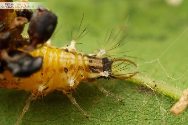 Orange Lacewing Larva