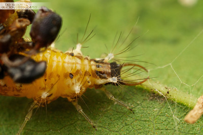 Orange Lacewing Larva