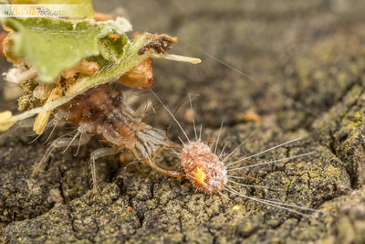 Lacewing Lunch