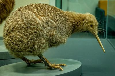 Im Original habe ich keinen gesehen, aber diesen ausgestopften Kiwi im «Auckland War Memorial Museum»