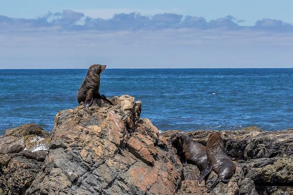Robbenkolonie am «Cape Palliser»