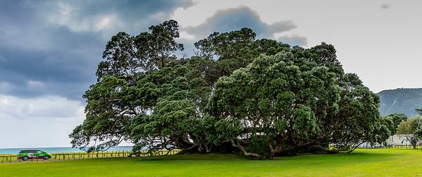 Grösster bekannter Pohutukawa in Te Araroa - ein Grössenvergleich