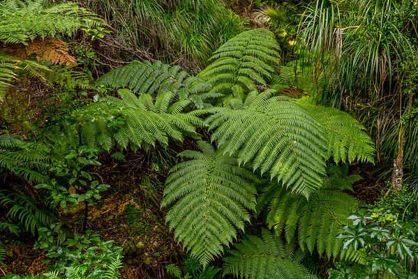 Auf dem «Orongorongo Track» im «Rimutaka Forest Park»: Riesenfarn, geschätzter Durchmesser fünf Meter