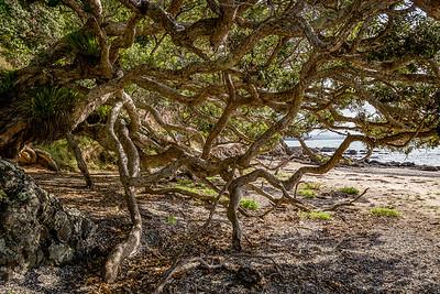 Pohutukawa an der «Waikahoa Bay»