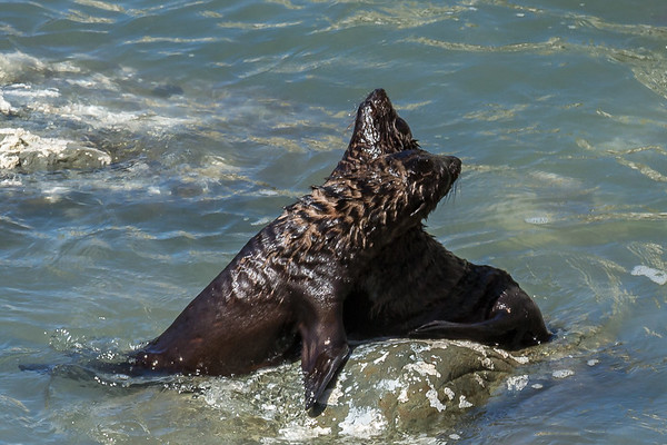 Spielende Seebären beim «Ohau Point»