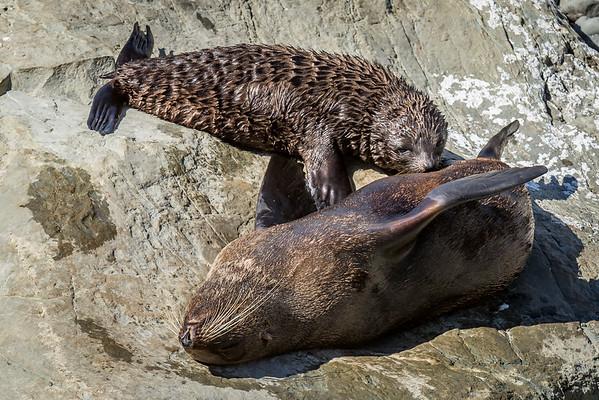 Säugender Seebär beim «Ohau Point»