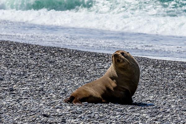 Der erste Seebär der Kolonie