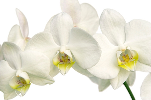 White Orchid 7