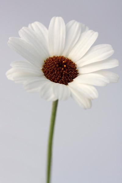 Moroccan Daisy 4