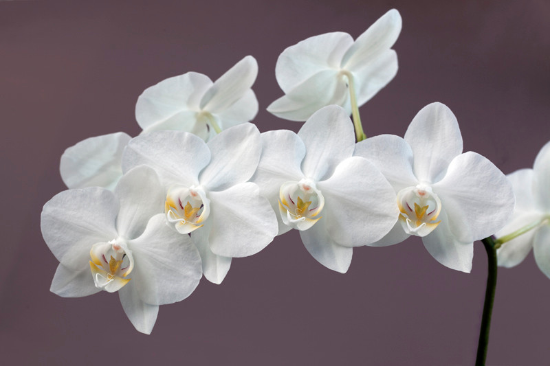 White Orchid 14