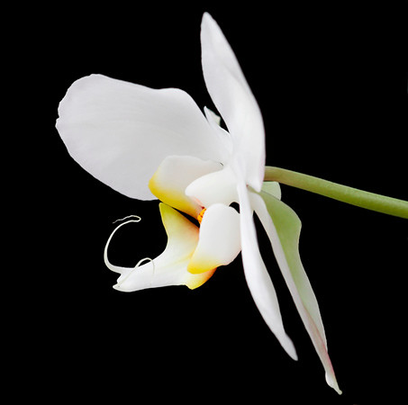 White Orchid 4