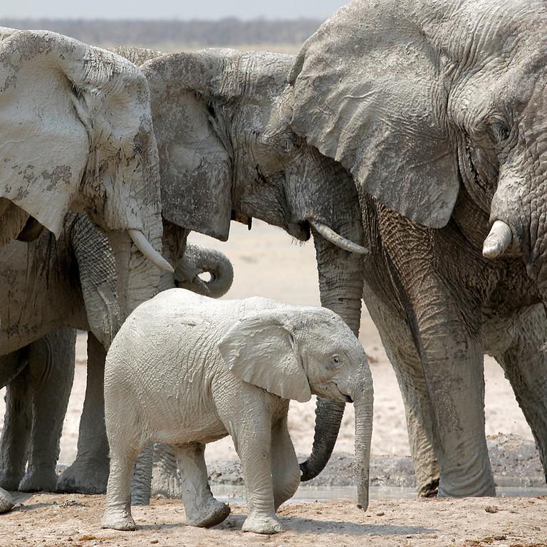 Namibian Elephants 1