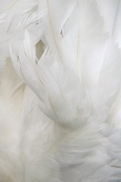 White 2  Feathers