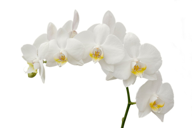 White Orchid 17