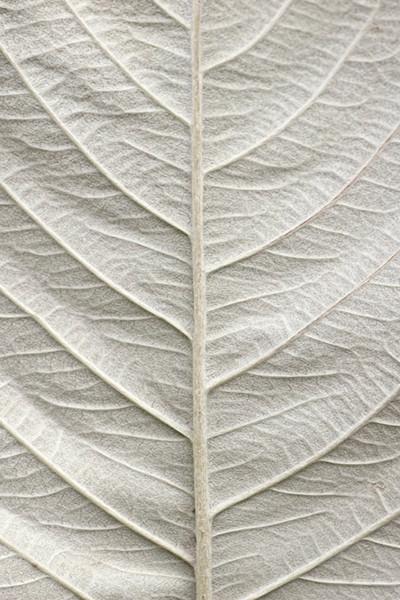 White 1  Leaf