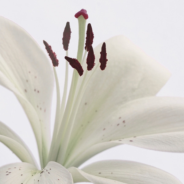 White Lily 5