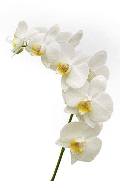 White Orchid 9