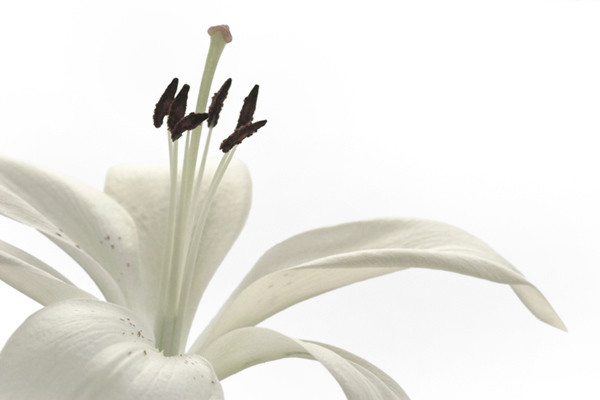 White Lily 2