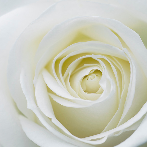 White Rose 2