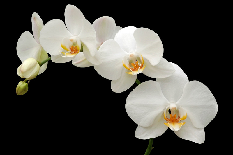 White Orchid 13