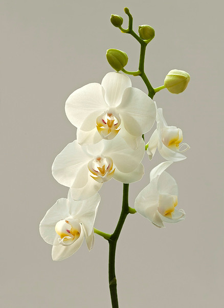 White Orchid 19