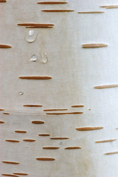 White 3  Birch Bark
