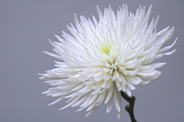 White Chrysanthemum 1
