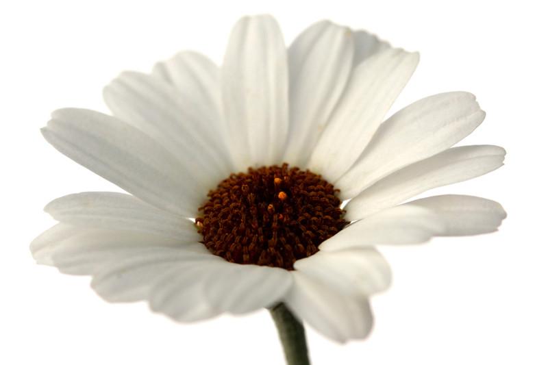 Moroccan Daisy 3