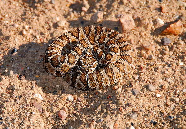Young rattlesnake, Black Rock/High Rock National Conservation Area