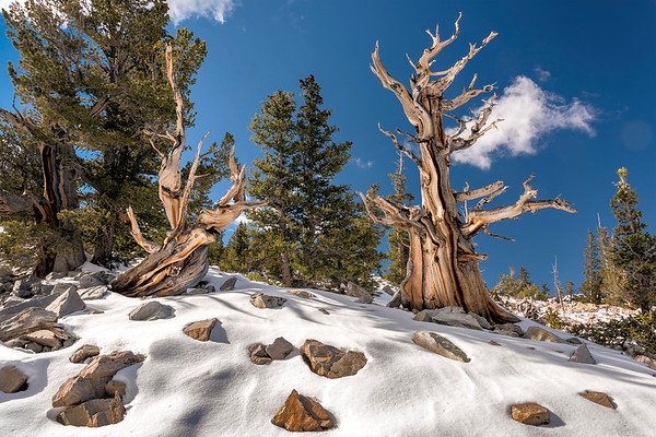 Bristlecone Pines in Snow, Great Basin National Park, Nevada