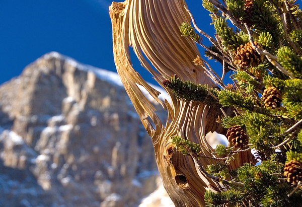 Ancient Bristlecone Pine, Wheeler Peak, Great Basin National Park, Nevada
