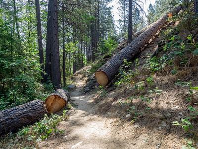 Dropping the last of 4 hazardous Ponderosa pine trees, May 6, 2015