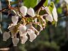 Our farm's namesake, in bloom on Manzanita Hill.