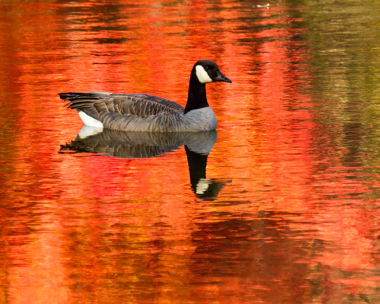Goose on Red Reflection
