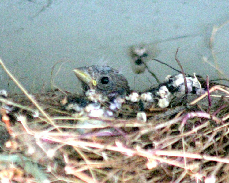 Baby Finch pokes out head