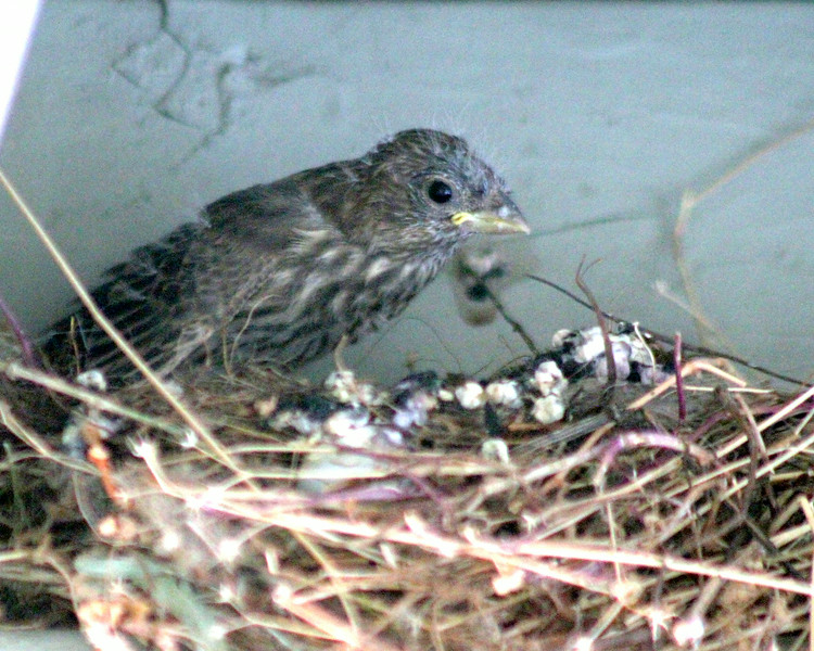 Baby finch waiting for grub