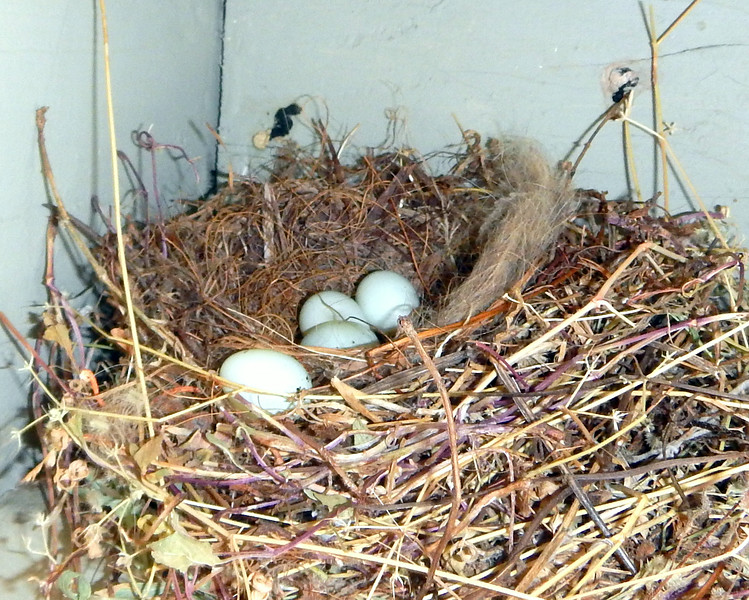House Finch Nest - July/August 2014