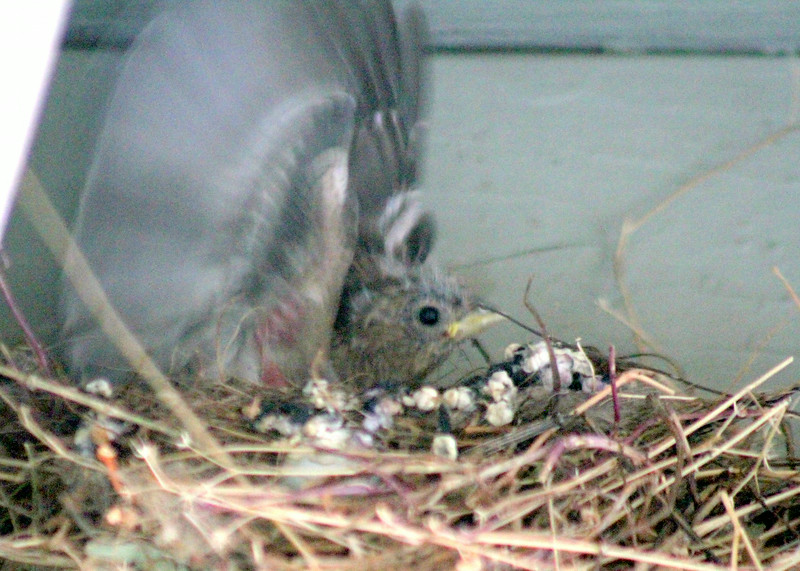 Baby Finch exercising wings