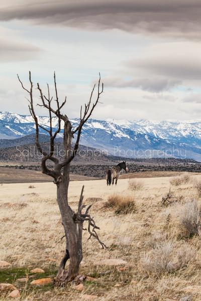 Wild Mustangs ~ Pine Nut Mountains ~ Gardnerville ,Nevada