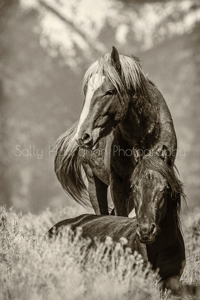 Wild Mustangs ~ Pine Nut Mountains